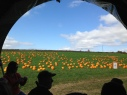 Pumpkin patch in Minor's field.